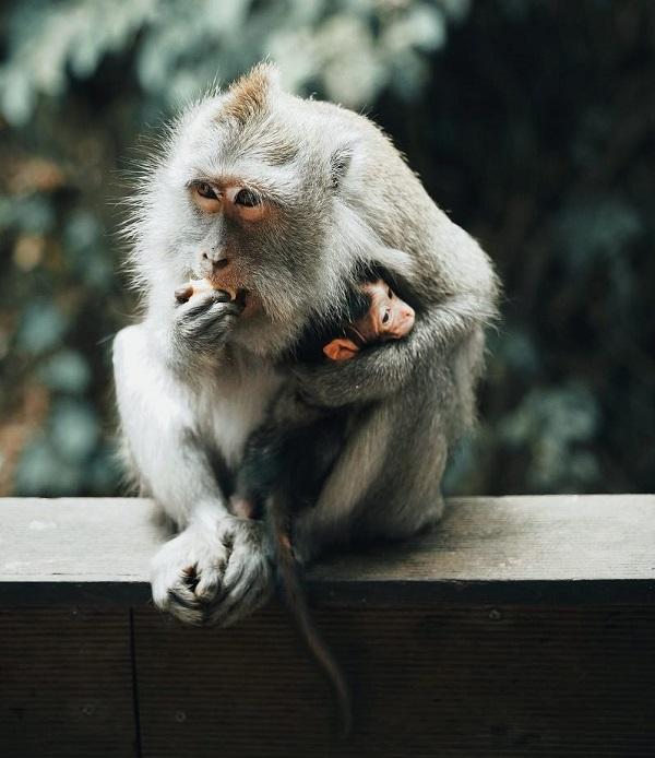 Affenmutter knuddelt Baby